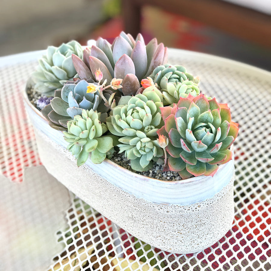 Dusty - DESERT ROSE SUCCULENTS