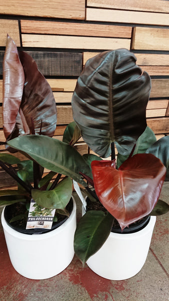 Philodendron Black Cardinal Established