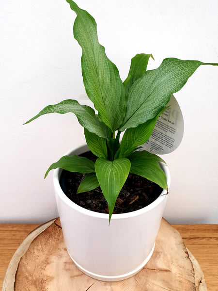 Peace Lilies (Spathiphyllum) All Kinds