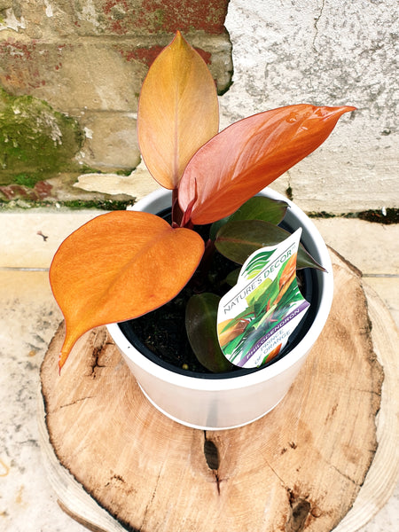 Philodendron Prince of Orange 200mm