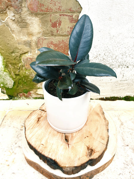 Rubber Plant- Ficus All Varieties