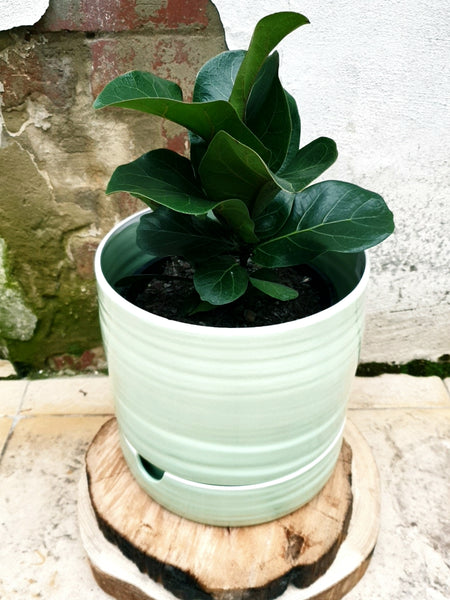 Fiddle Leaf fig - Ficus Lyrata Bambino