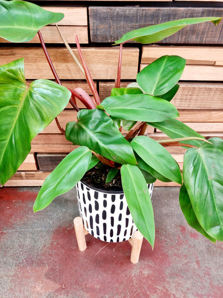 Philodendron - Green Splash