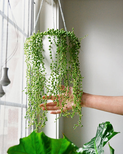String of Pearls (collect in store only)