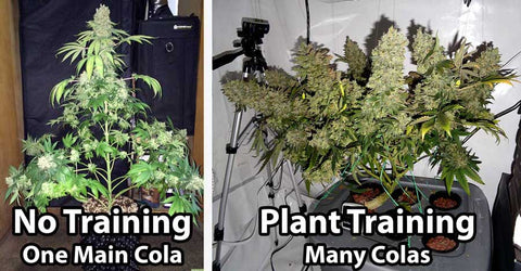 How to Increase THC Potency of Cannabis When Growing at Home