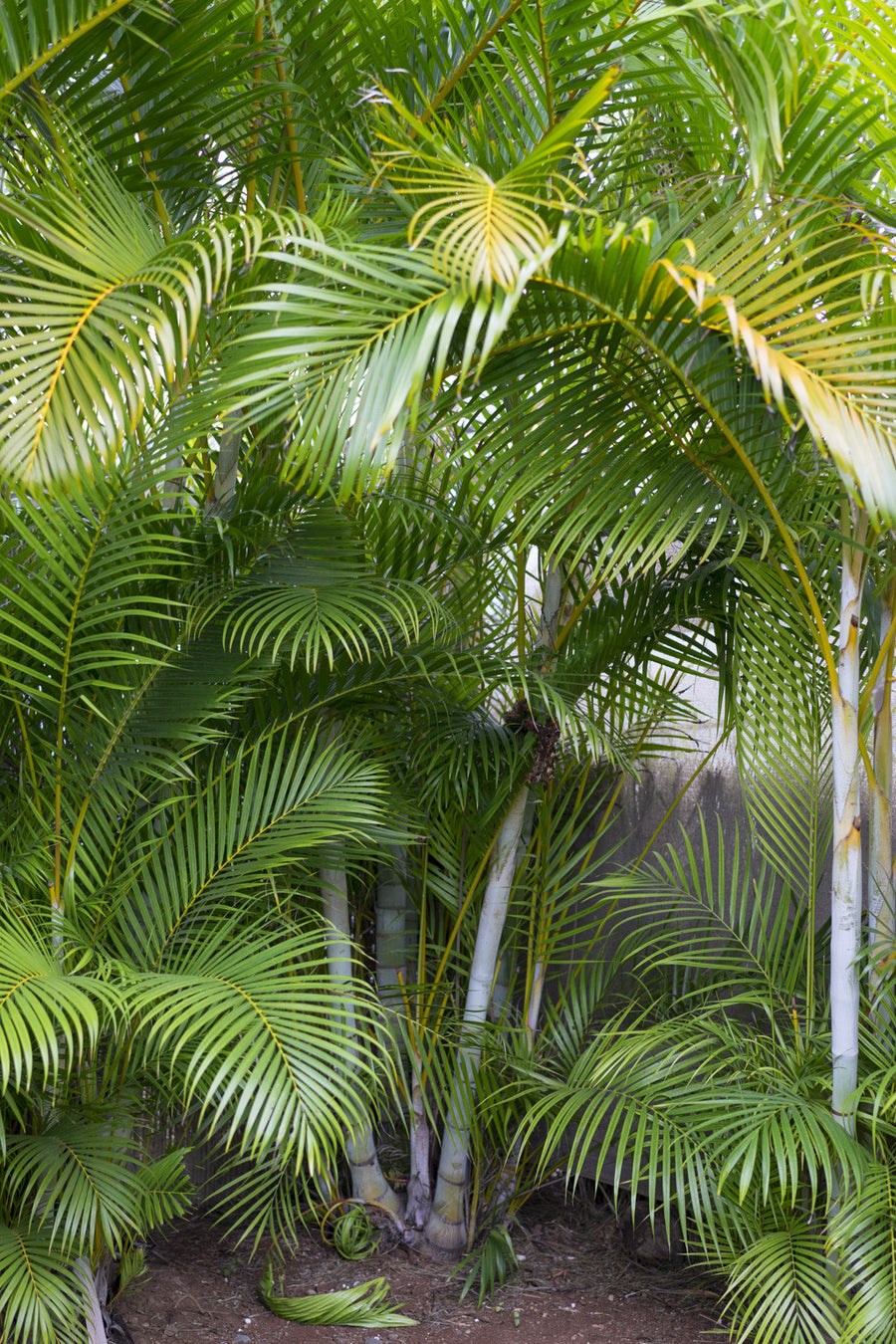Plant Spotlight: Areca Palm
