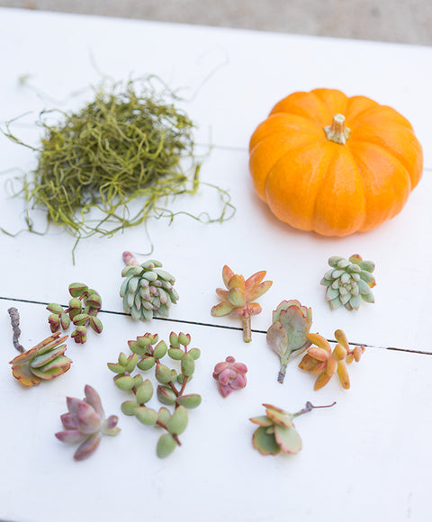 Succulent Topped Pumpkin Kit