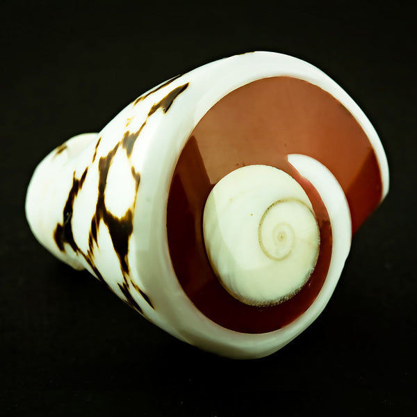 Spotted Seashell Ring - Red Shiva Eye