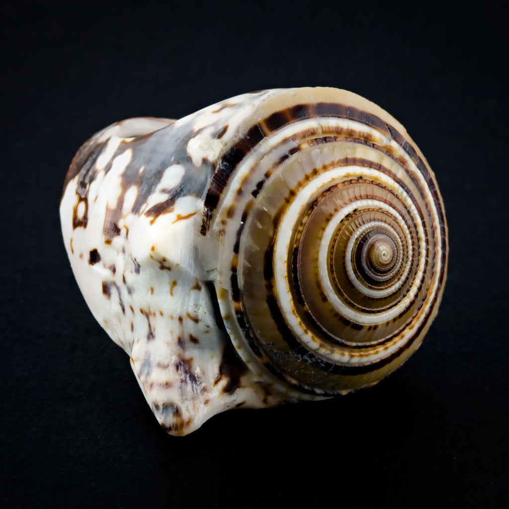 Conch Shell Ring - Sand Spiral