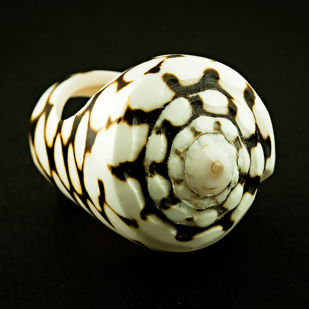 Seashell Ring - Spotted Conus