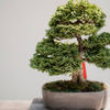 Plant of the month Clubs - Bonsai & Tropical