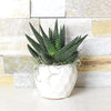Potted Haworthia Succulent, floral gift baskets, gift baskets, succulent gift basket