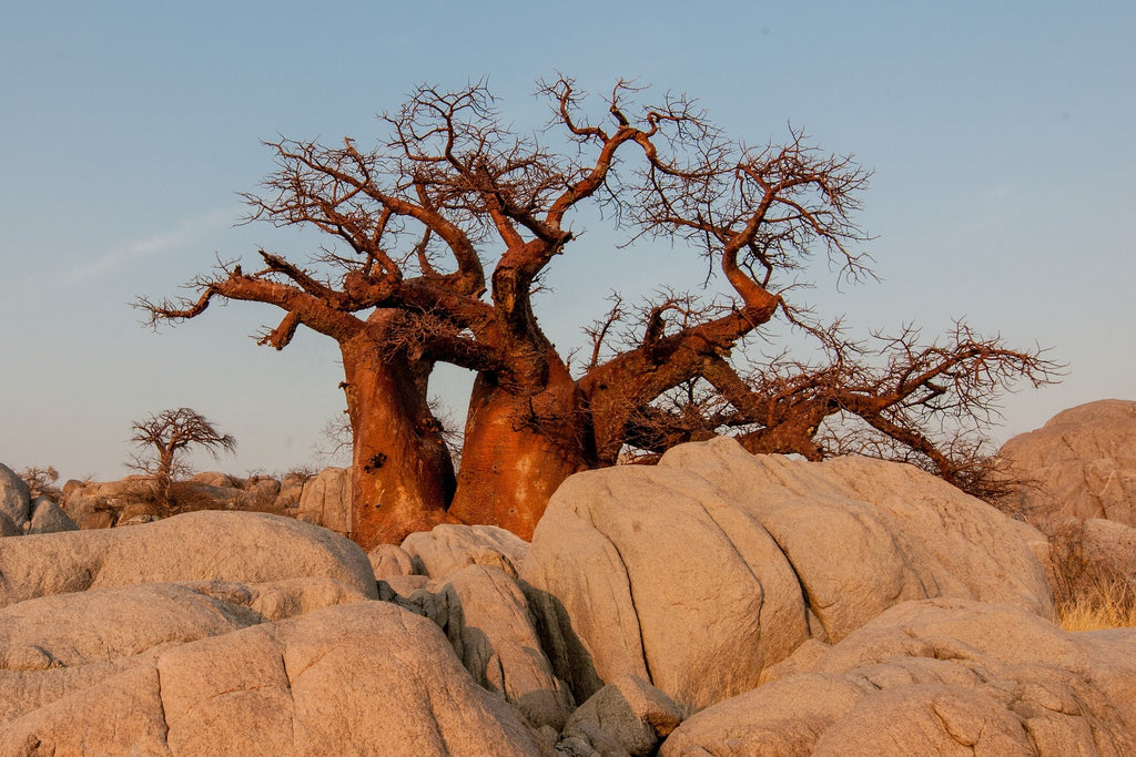 Baobab Oil | The Tree of Life