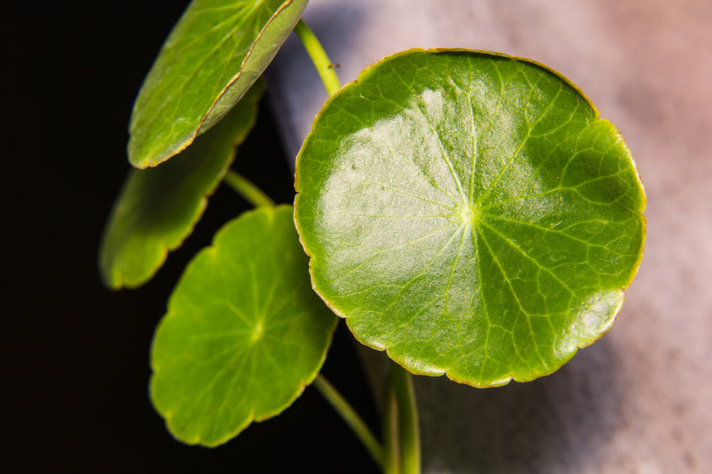 Gotu kola–Benefits for Skin, Brain and Mood