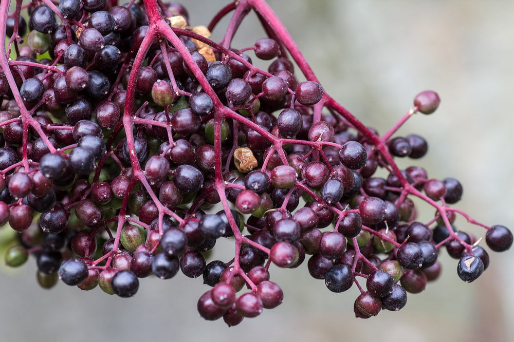 Elderberry Syrup: Immune Boosting Potion for All-Season Wellness