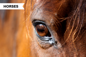 Horse Eye Problems: Injuries, Infections, and How to Treat Them