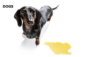 Why Your Dog Pees in the House and How to Prevent It