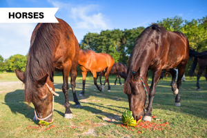 Is Watermelon Safe For Horses?