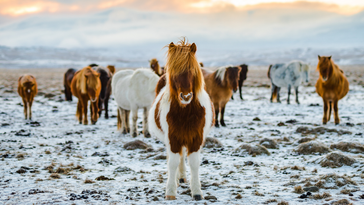 Group of Horses during snow
