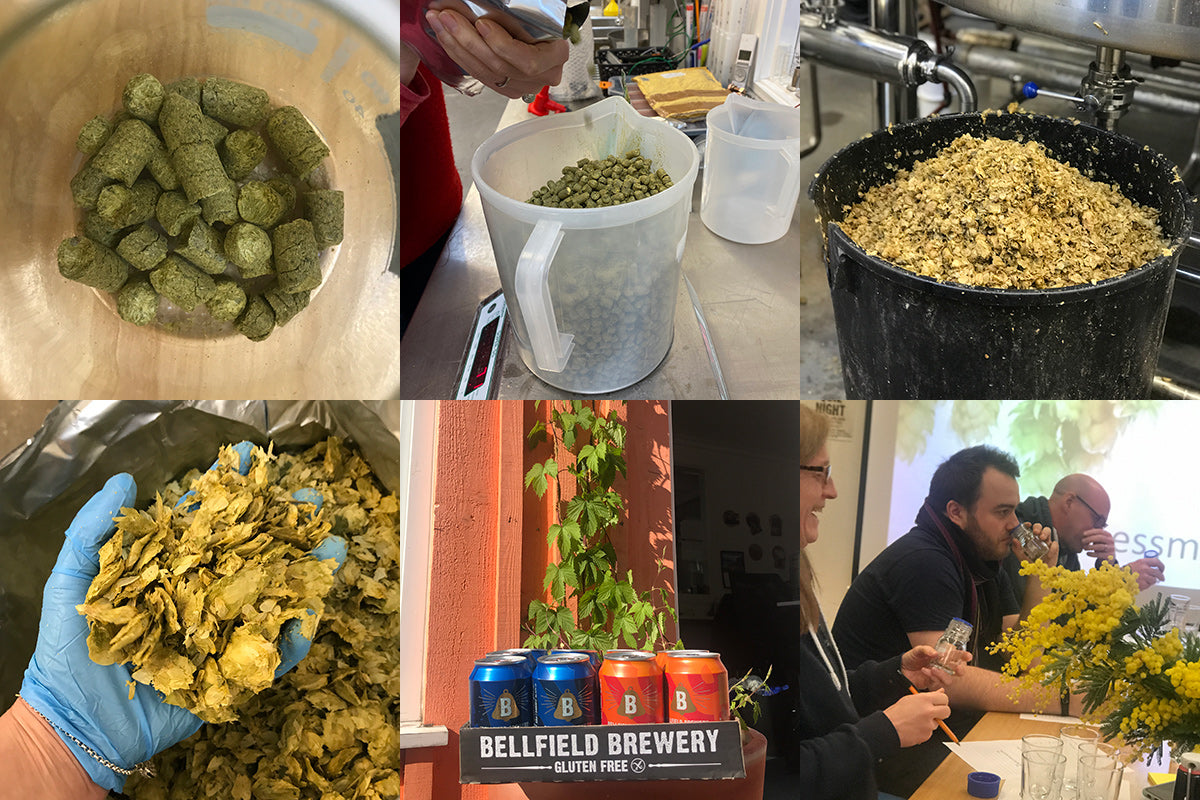 Dried hop pellets, fresh hops in bucket and hand, hop plant and beer cans, people at hop sensory session