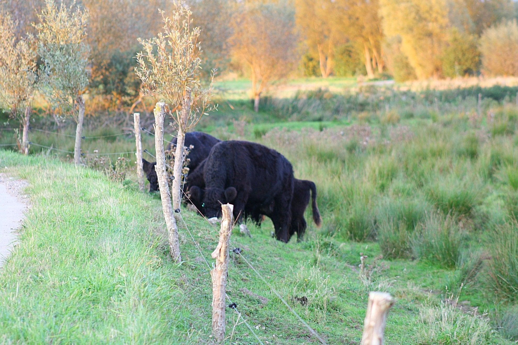Unsere Galloways grasen in Sildemow