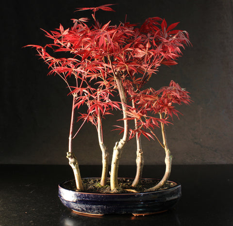Easter Bank Holiday Bonsai Clinic/Workshop - Free admission