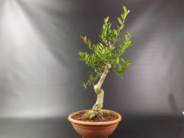 Punica (Pomegranate ) - fantastic Bonsai Tree material