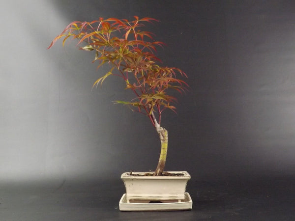 Acer Bonsai Tree - 30-35 cm - with ceramic pot  and drip tray - Gift Set options
