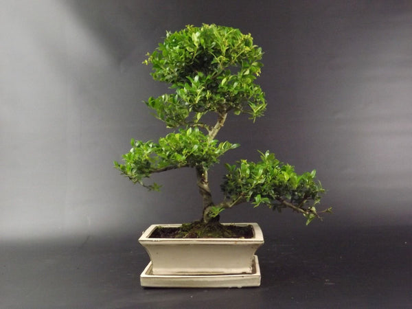 Ilex Bonsai Tree - 40 cm - with ceramic pot  and drip tray - Gift Set options