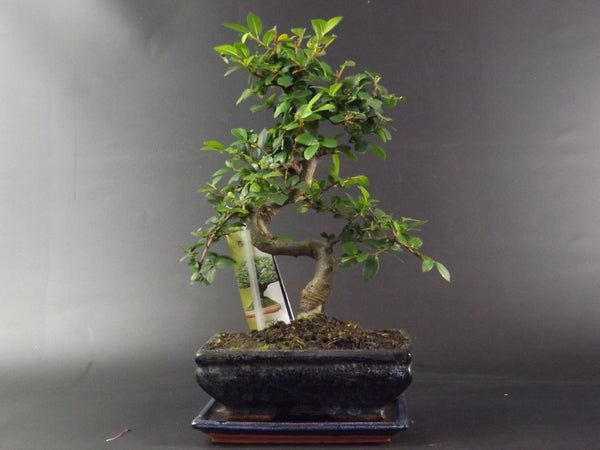 Chinese Elm Bonsai Tree-30-35 cm-with ceramic pot and drip tray-and deluxe gift set