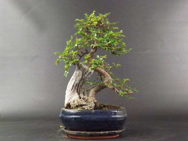 Chinese Elm S Trunk Rock Planting - 35 cm - Oval ceramic pot and drip tray