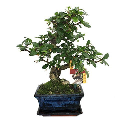 Carmona - Fukien Tea - Indoor flowering Bonsai Tree