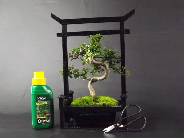 Chinese Elm - 20-25cm in Torii Gate style presentation case with Bonsai Care Kit