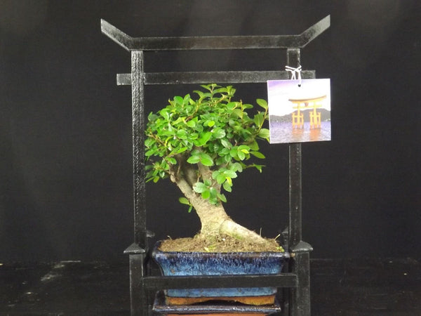 Chinese Elm Bonsai tree with drip tray and Torii Gate style presentation Case