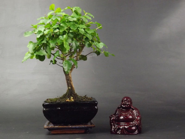 Ligustrum Bonsai tree Broom Style 20cm tall in ceramic pot + Red Lacquer Buddha
