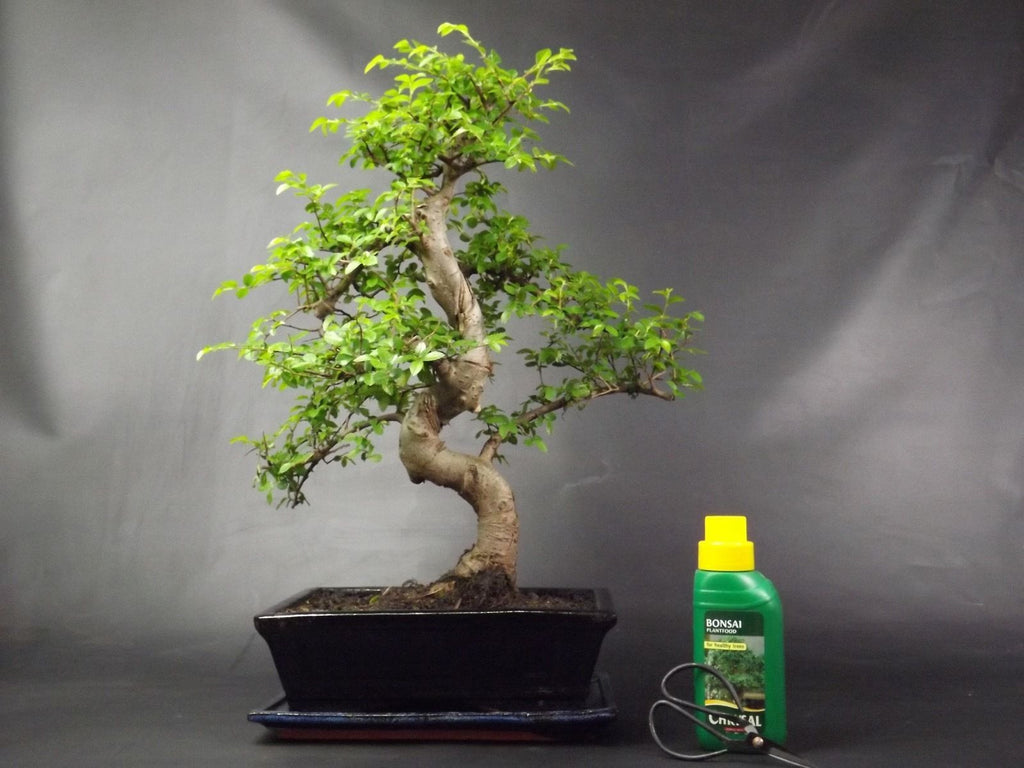 Very Large Chinese Elm S Trunk Bonsai tree 50-55 cm With gift set
