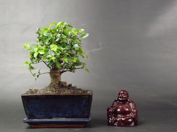 Chinese Elm Bonsai tree Broom Style 20cm in ceramic pot + Red Lacquer Buddha