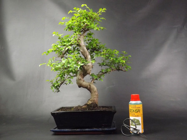 Very Large Chinese Elm S Trunk Bonsai tree 50-55 cm With free gift set