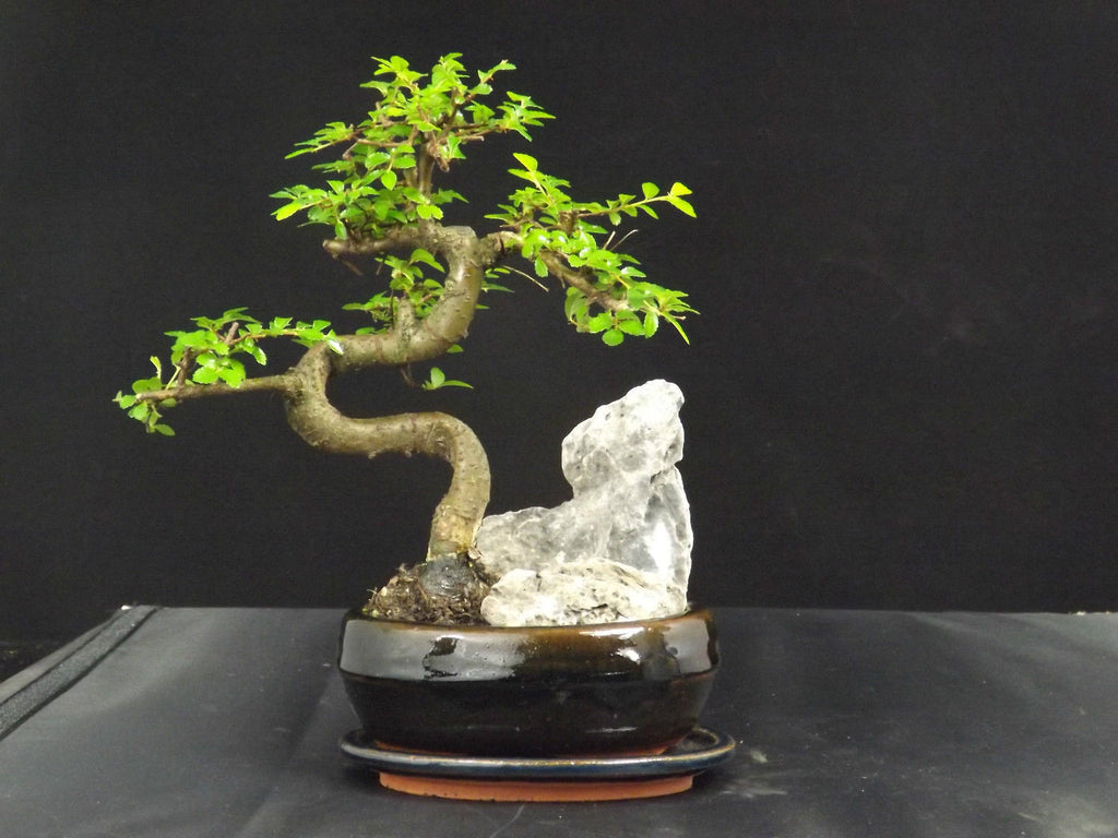 Chinese Elm S Trunk Rock Planting 25cm - Oval ceramic pot and drip tray