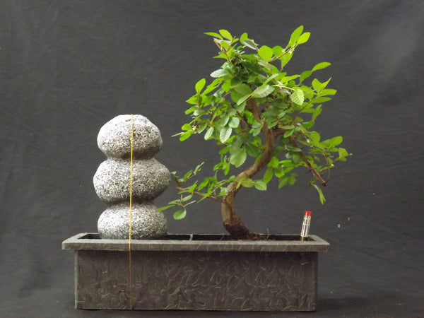 Bonsai Chinese elm with water feature