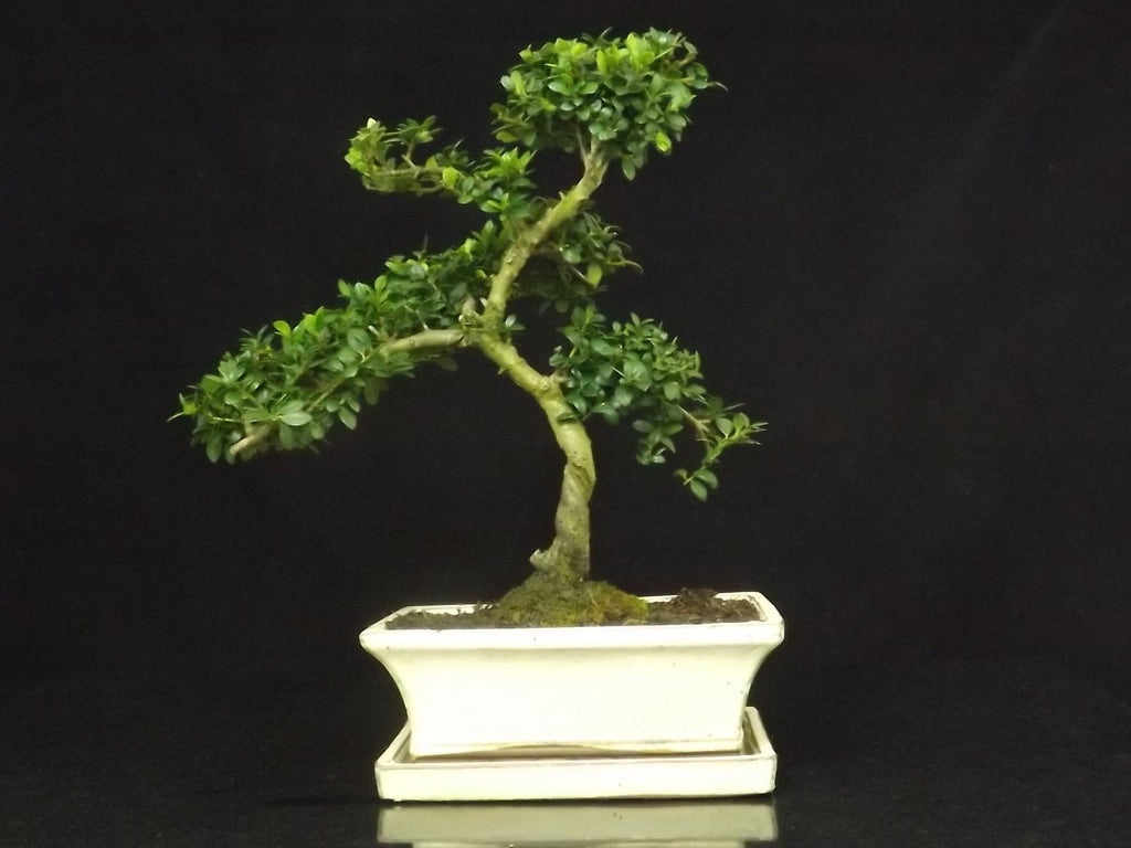 Ilex (Japanese Holly) Bonsai tree 35-40cm with ceramic drip tray