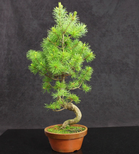 Japanese White Pine Bonsai material ready for styling  - 60cm