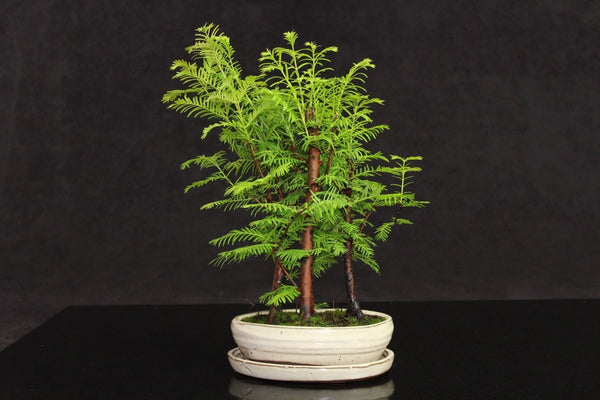 Metasequoia (Dawn Redwood) Bonsai tree forest planting 30cm in ceramic pot+tray