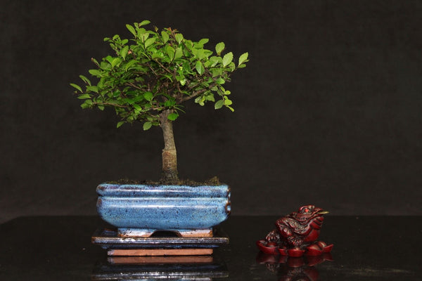 Chinese Elm Broom style bonsai tree supplied with lucky money toad ornament