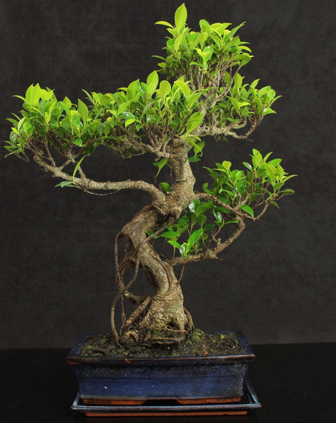 Very Large Ficus Indoor Bonsai tree 50-55cm + ceramic Drip Tray