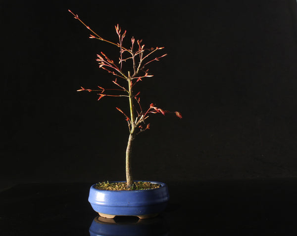 Deshojo Japanese Maple in blue oval ceramic pot - 30cm tall