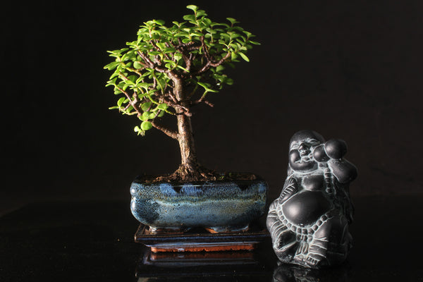 Crassula Bonsai tree 20-25cm with Ceramic drip tray  and Buddha Statue