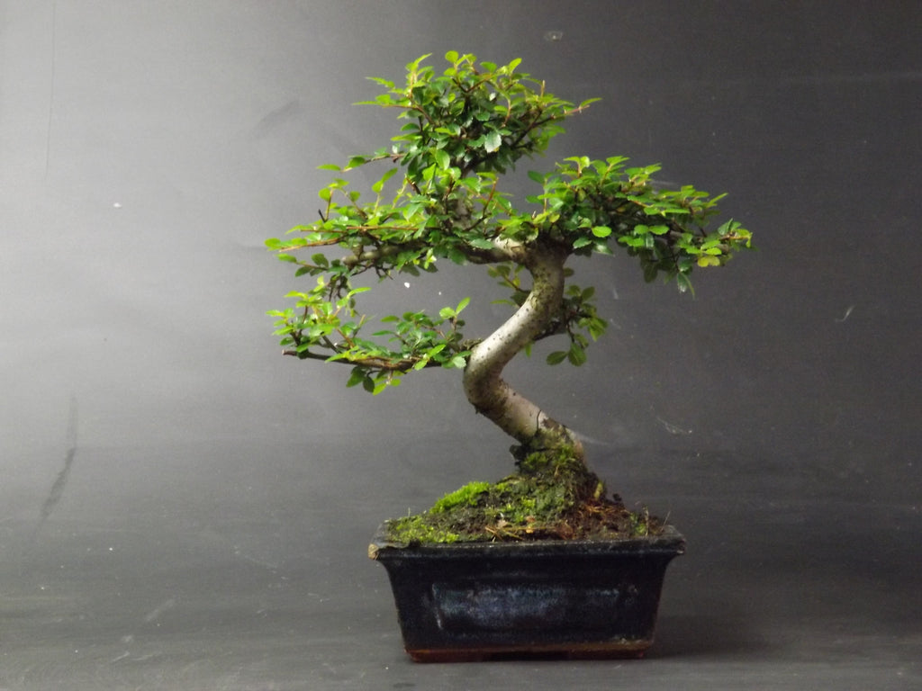 Luxury Chinese elm Bonsai Tree