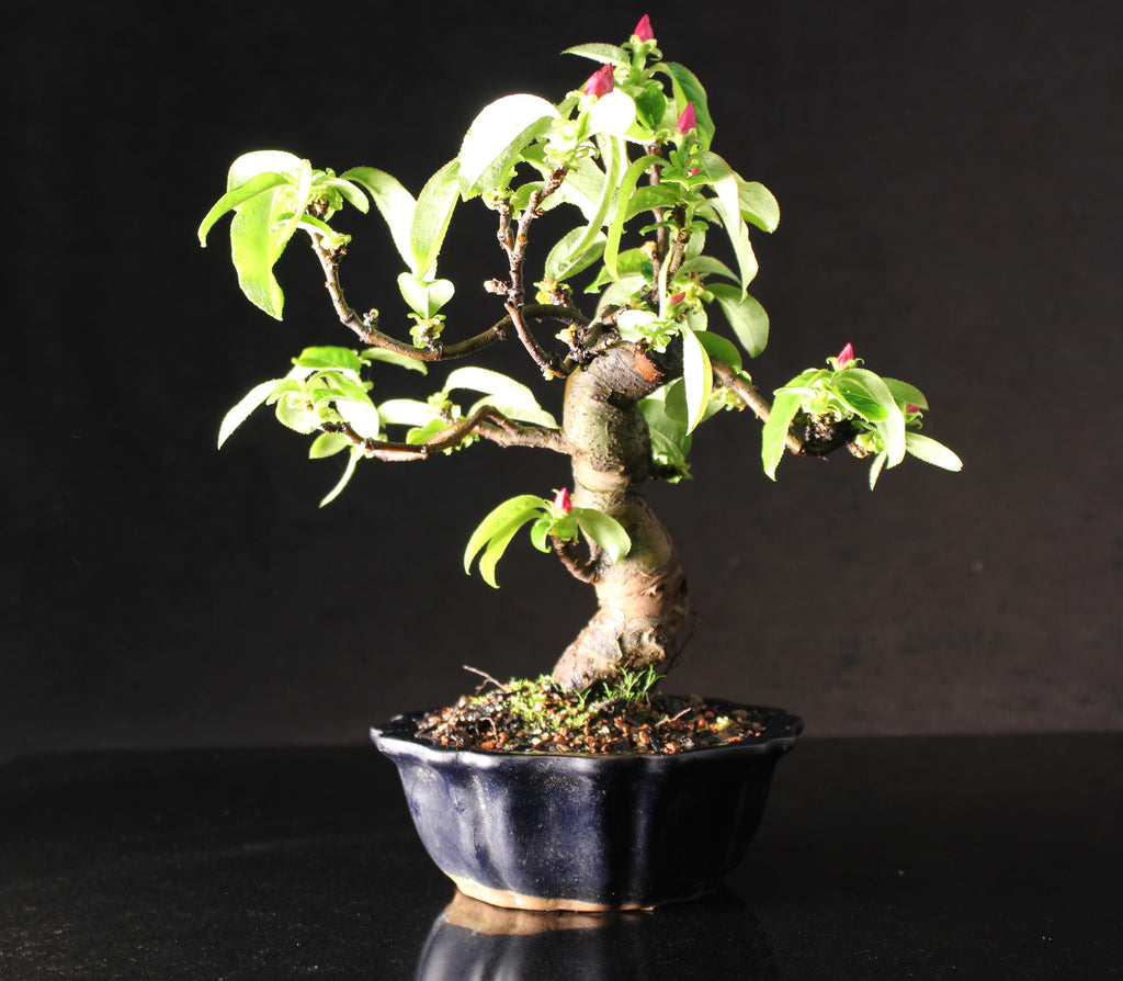 Japanese Flowering Quince shohin bonsai tree 26 cm in fluted ceramic pot