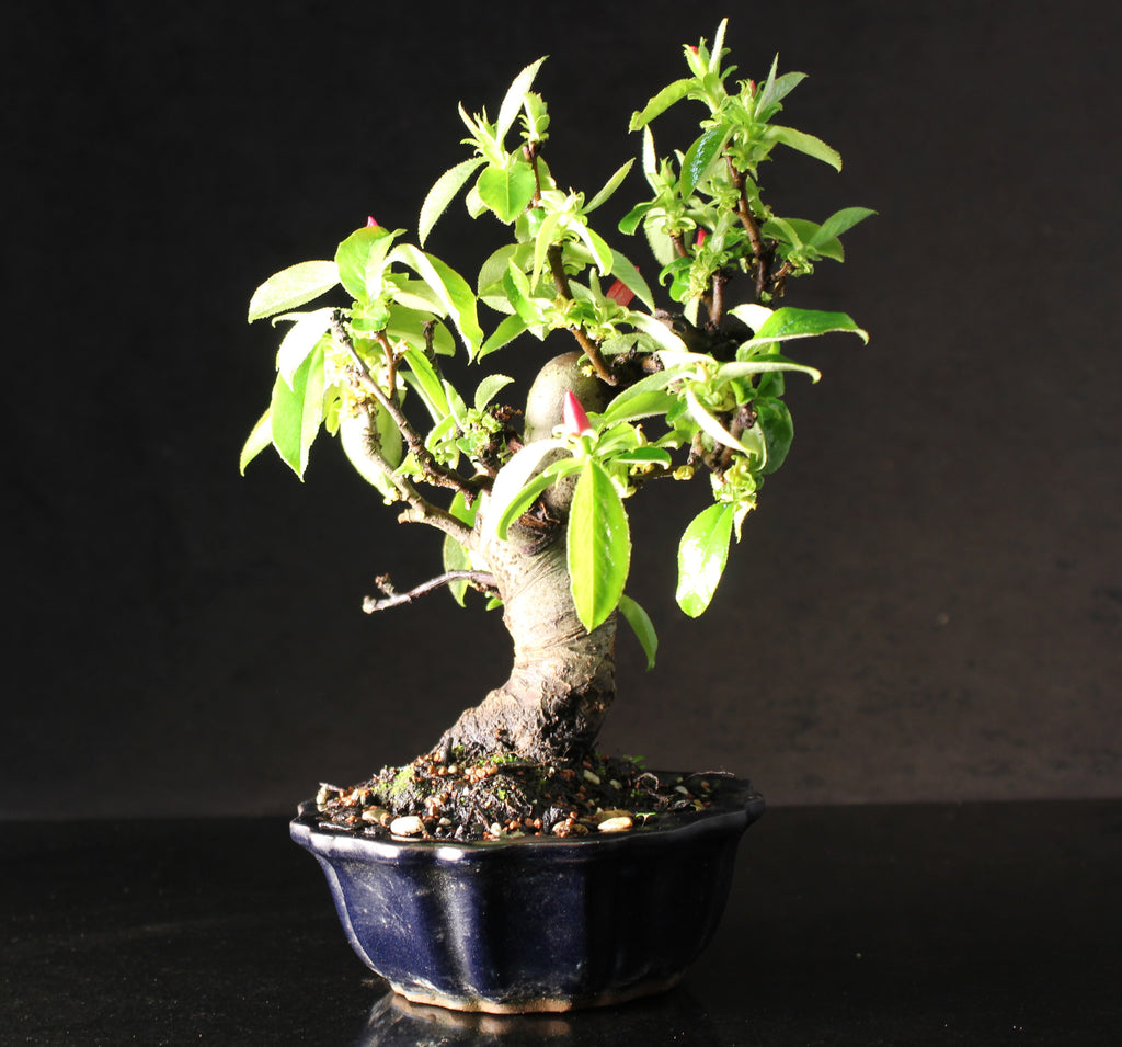 Japanese Flowering Quince shohin bonsai tree 25 cm in fluted ceramic pot